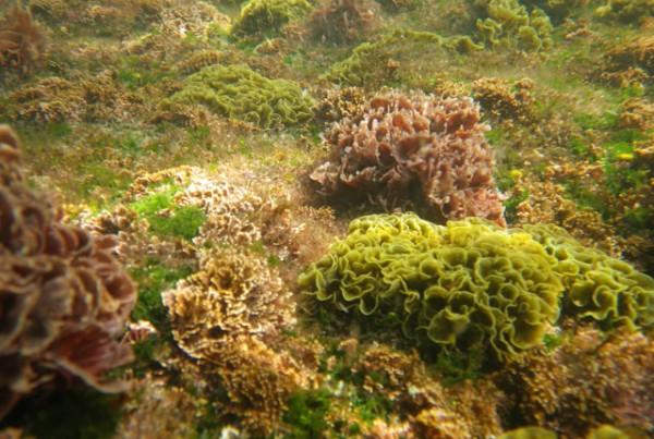 Fucoidan Hijiki Seaweed