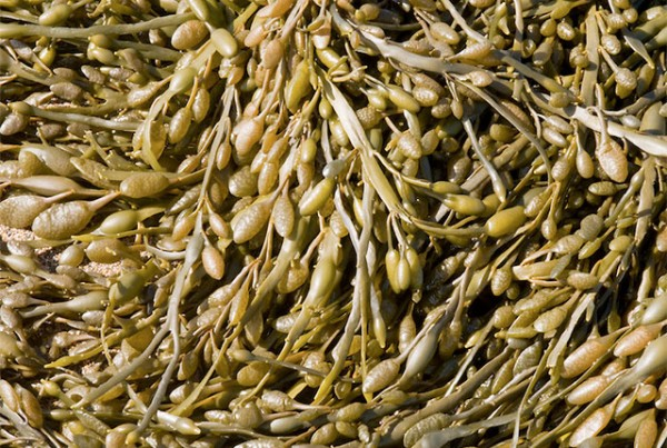 Bladder Wrack Seaweed Weak Fucoidan