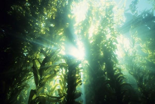 Limu Seaweed